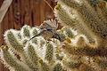 Cactus wren (Campylorhynchus brunneicapillus) building a nest - 12938385904.jpg