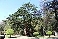 Caesalpinia echinata Pau-brasil Parque das Águas São Lourenço MG by Rodrigo Rios.JPG