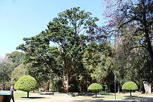 Name of Brazil - Brazilwood tree in a park in São Lourenço, Minas Gerais.