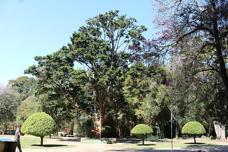 Ficheiro:Caesalpinia echinata Pau-brasil Parque das Águas São Lourenço MG by Rodrigo Rios.JPG