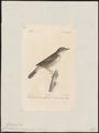 Calamodyta arundinacea - 1842-1848 - Print - Iconographia Zoologica - Special Collections University of Amsterdam - UBA01 IZ16200085.tif