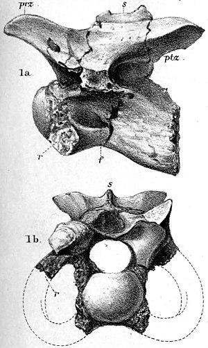 Calamosaurus - Cervical vertebra of Calamosaurus foxi