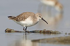 Calidris ferruginea, winter adult, Pak Thale.jpg