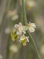 Calligonum comosum flower 1.jpg