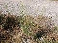 Camelina microcarpa (3707442636).jpg