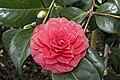 Camellia.japonica.cv.Delfosse.7170.jpg