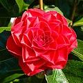 Camellia × williamsii 'Roger Hall'. 31-03-2020. (actm.) 01.jpg