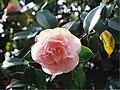 Camellia flower - Flickr - Matthew Paul Argall.jpg