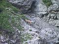 Camoscio Val Montanaia.JPG