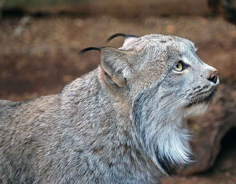 Canadian Lynx Facts For Kids