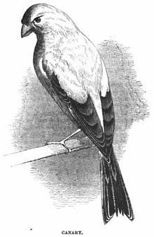 Canary - Project Gutenberg eBook 11921.jpg