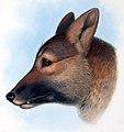 Canis dingo Gould.jpg