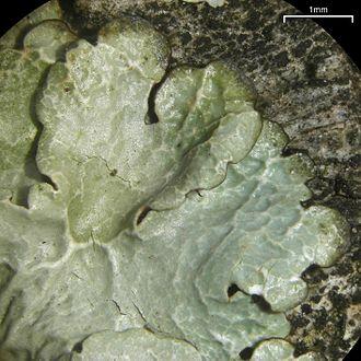 Canoparmelia - Canoparmelia crozalsiana