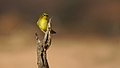 Cape White-eye, Zosterops pallidus, at Marakele National Park, Limpopo Province, South Africa (45762832325).jpg