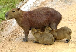 Femelle allaitant ses petits