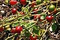 Capsicum annuum Ciliegia Piccante 1zz.jpg