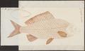 Carassius auratus - 1774-1804 - Print - Iconographia Zoologica - Special Collections University of Amsterdam - UBA01 IZ15000046.tif
