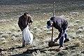 Cardoon harvest in Iran 2020-04-18 16.jpg