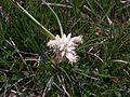 Carex baldensis flowers.jpg