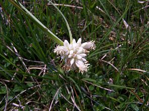 Monte-Baldo-Segge (Carex baldensis)
