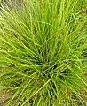 Carex elongata plant (4).jpg