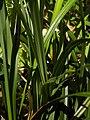 Carex pendula leaf (6).jpg