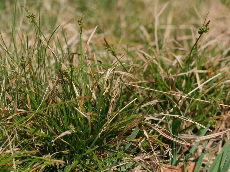 Carex pilulifera habitus.jpeg