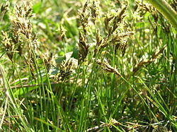 Carex praecox1.JPG