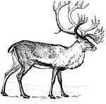 The woodland caribou's frontally emphasized, flat-beamed antlers are evident in this drawing by Foresman