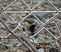 Carolina Chickadee. Poecile carolinensis (37509836854).jpg