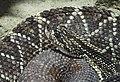 Cascabel Crotalus durissus.jpg