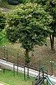 Casco de buey (Bauhinia variegata) (14966839196).jpg