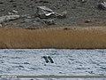 Caspian Gull (Larus cachinnans) (33029429211).jpg