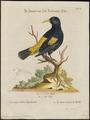Cassicus persicus - 1700-1880 - Print - Iconographia Zoologica - Special Collections University of Amsterdam - UBA01 IZ15800181.tif