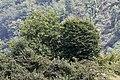 Castanea sativa - Anatolian sweet chestnut 03.jpg