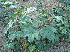 Castor bean in disturbed area