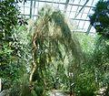 Casuarina equisetifolia1 ies.jpg