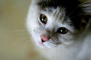 English: Cat, cute. Probably tuxedo.