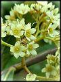Catha edulis04.jpg