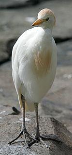 Western cattle egret Species of bird