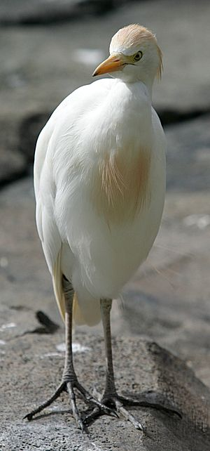 Cattle egret - Breeding-plumaged adult of nominate subspecies