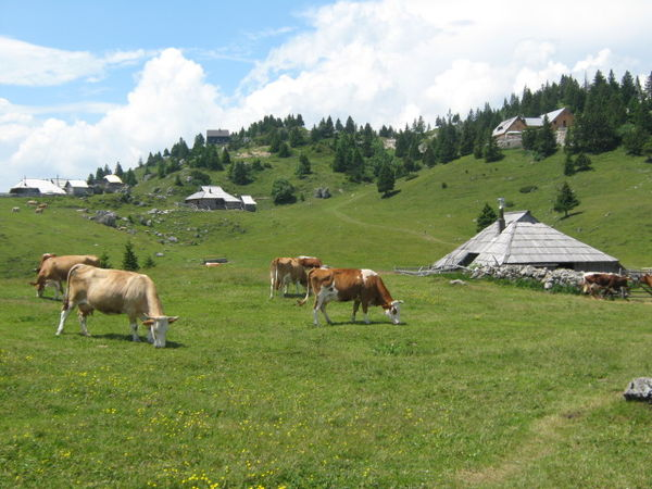 Cattle grazing in a high-elevation environment at the Big Pasture Plateau, Slovenia Cattle at Velika Planina, Slovenia.jpg