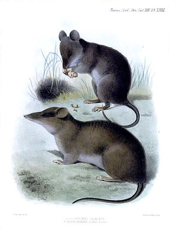Chrotomys - Chrotomys silaceus (upper animal)