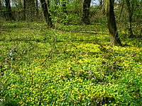 Lesser celandine carpeting a forest floor in spring