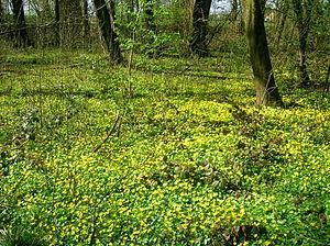 Understory - Lesser celandine (Ranunculus ficaria) on forest floor in spring