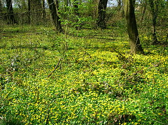 Understory - Lesser celandine (Ranunculus ficaria) on forest floor in spring