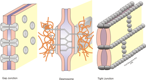 "Cell–cell interaction - Various types of cell junctions.  In this diagram, the interface between neighboring cells or the  basolateral membrane is depicted as ""sheets""; the space between these sheets being the extracellular environment and the location of adhesion protein interaction."