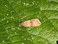 Celypha striana (19228442440).jpg