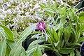 Centaurea montana 7zz.jpg