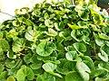 Centella asiatica (থানকুনি) (3).jpg